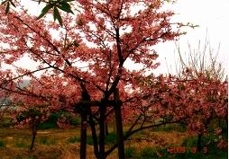 桜が咲いた様子