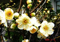 梅の花が開いた様子